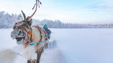 picture Reindeer